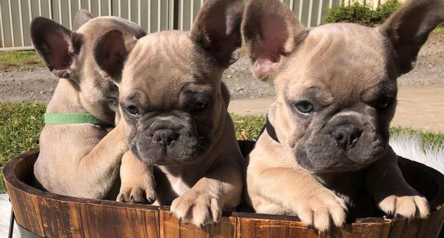 Shop for French Bulldogs - The French Shoppe